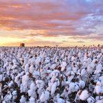 Produção de algodão. Foto: Divulgação/Abapa